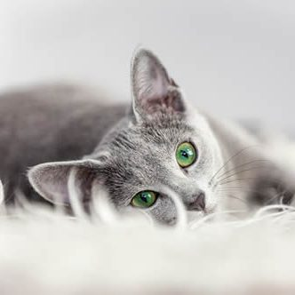 Pet Friendly Apartments_cat_gray